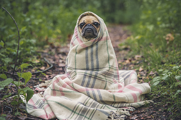 Air conditioner heating. Pug wrapped in blanket